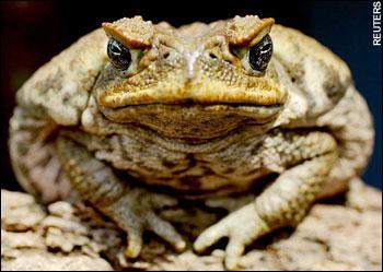 Тростниковая жаба Австралии