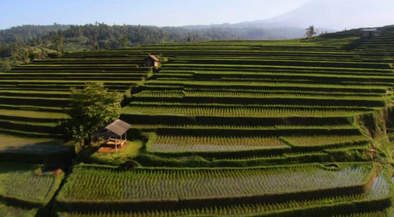 Жажда мира: Рисовые плантации.