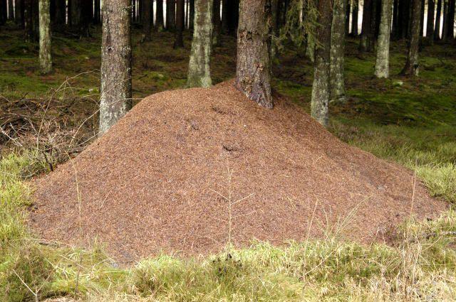 Колония муравьёв Formica rufa