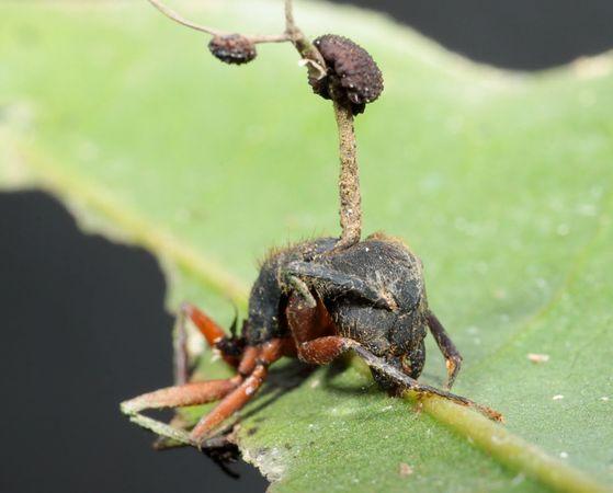 муравьи-зомби