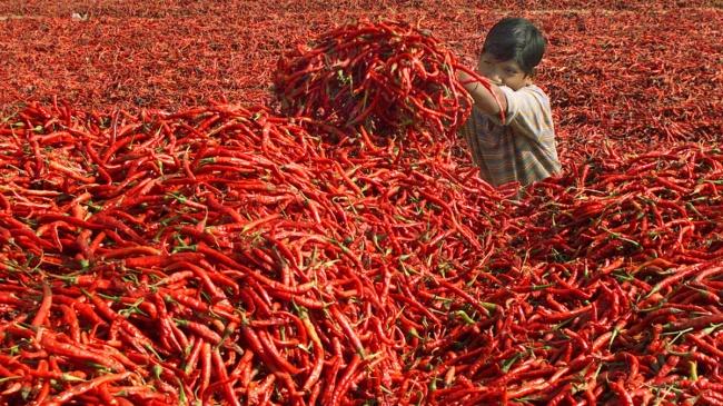 Сбор урожая перца Чили