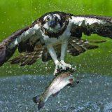 Рыба в когтях скопы