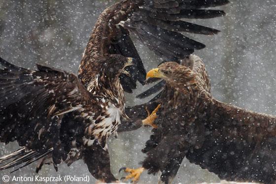 Линии электропередач приводят к смерти 20 млн птиц ежегодно