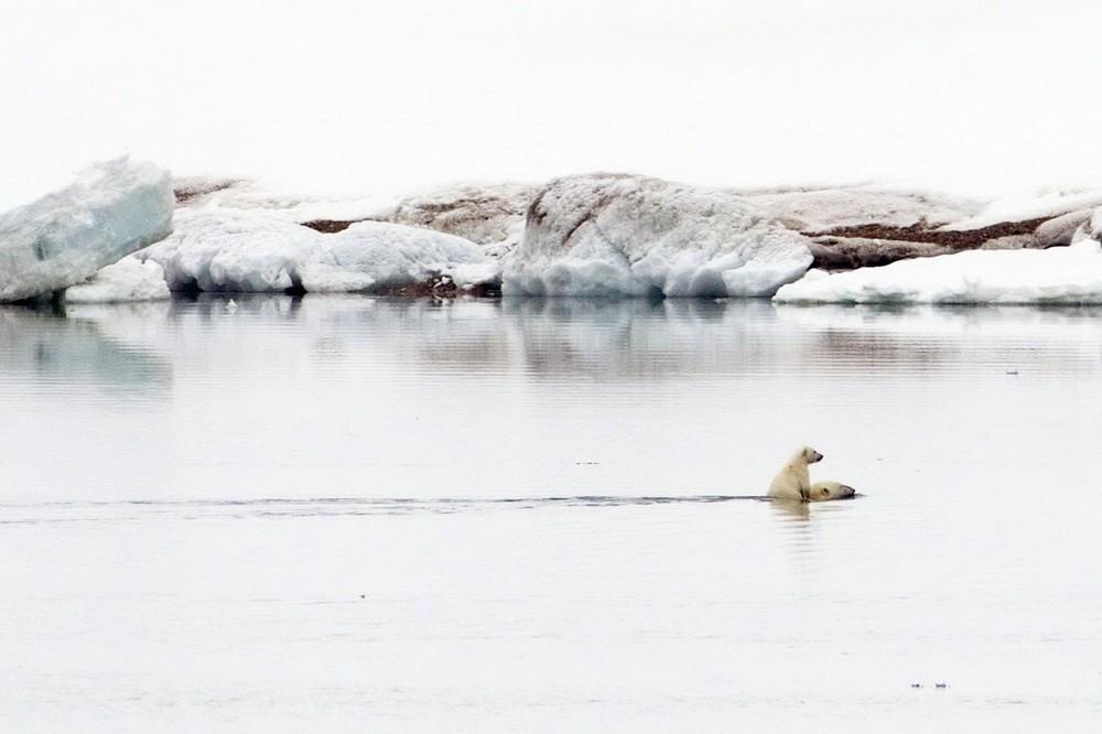 Белый медведь: Мама