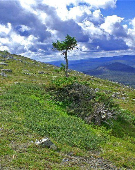 Old Rusmus - Одно из самых старых деревьев планеты