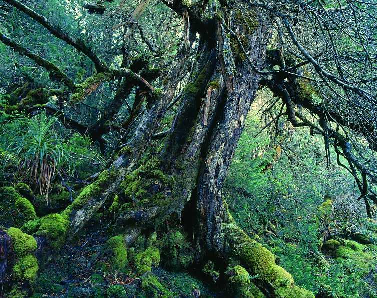 huon pine - древнейшее дерево на планете