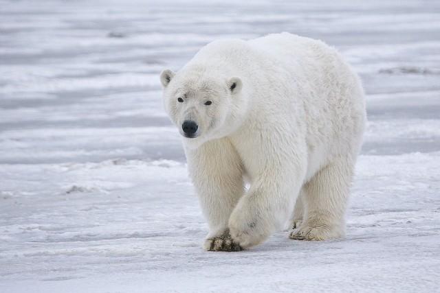 В рамках экспедиции «Кара-лето» ученые исследуют белых медведей