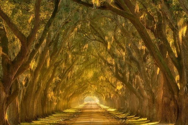 Живой тоннель из деревьев