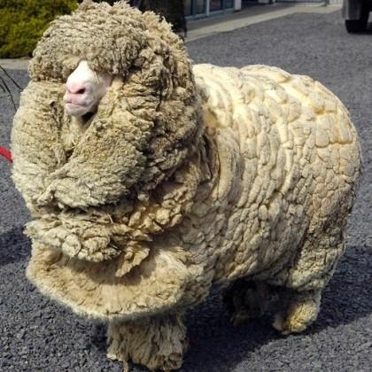 Как будет выглядеть овца, если её не стричь 6 лет?