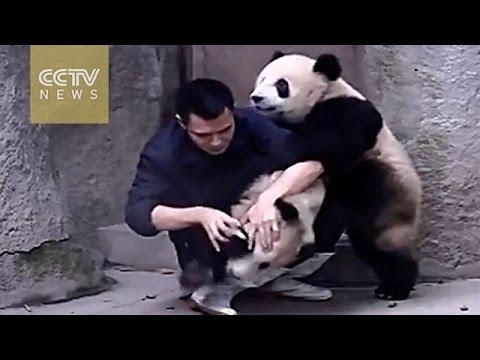 Особенности лечения панд