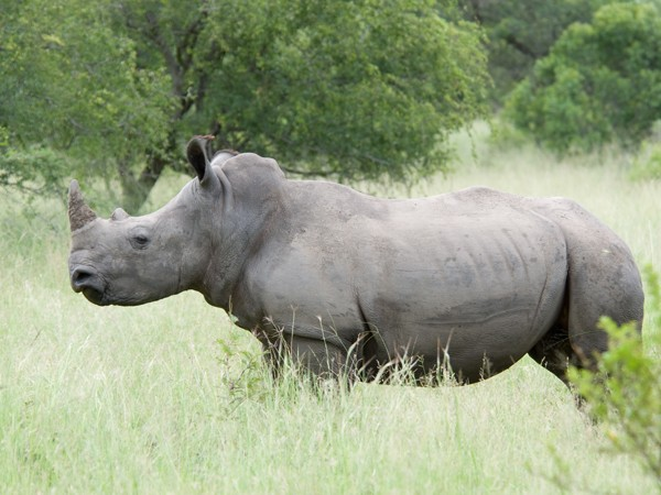 Белый носорог/><figcaption id=