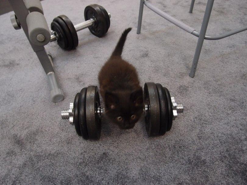Кот - тяжелоатлет