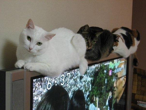 Кошки на телевизоре