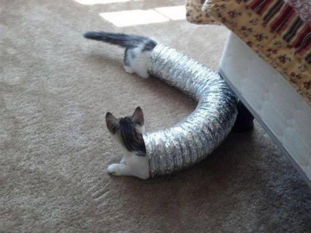 Кот удлинённый