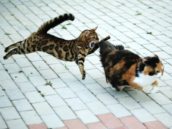 Clash of cats.