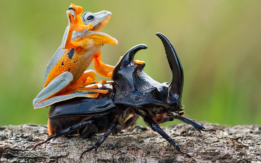 Лягушка в верхом на жуке
