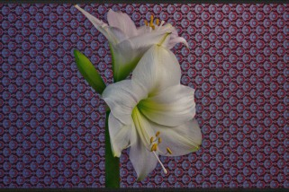 Time-lapse цветения