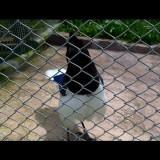 Птицы-диктофоны