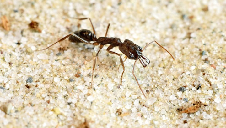 Катапультирующиеся муравьи