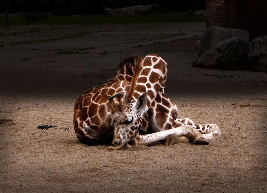 Giraffes2