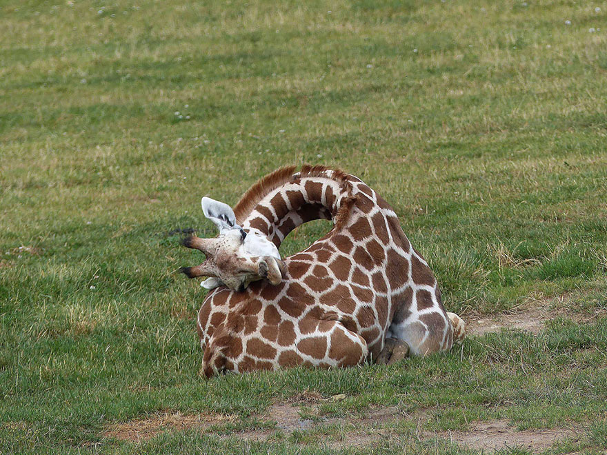 Giraffes6