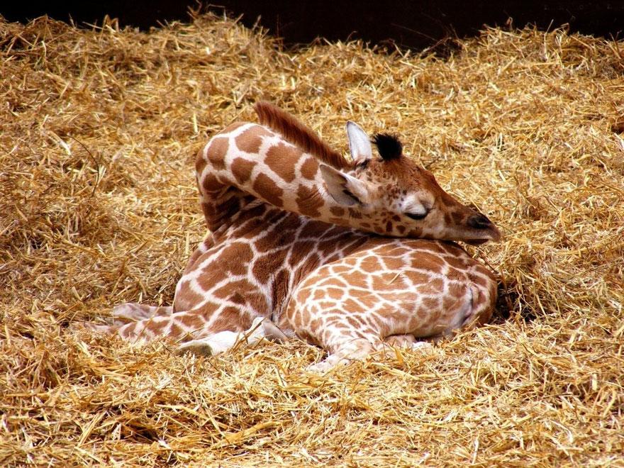 Giraffes7