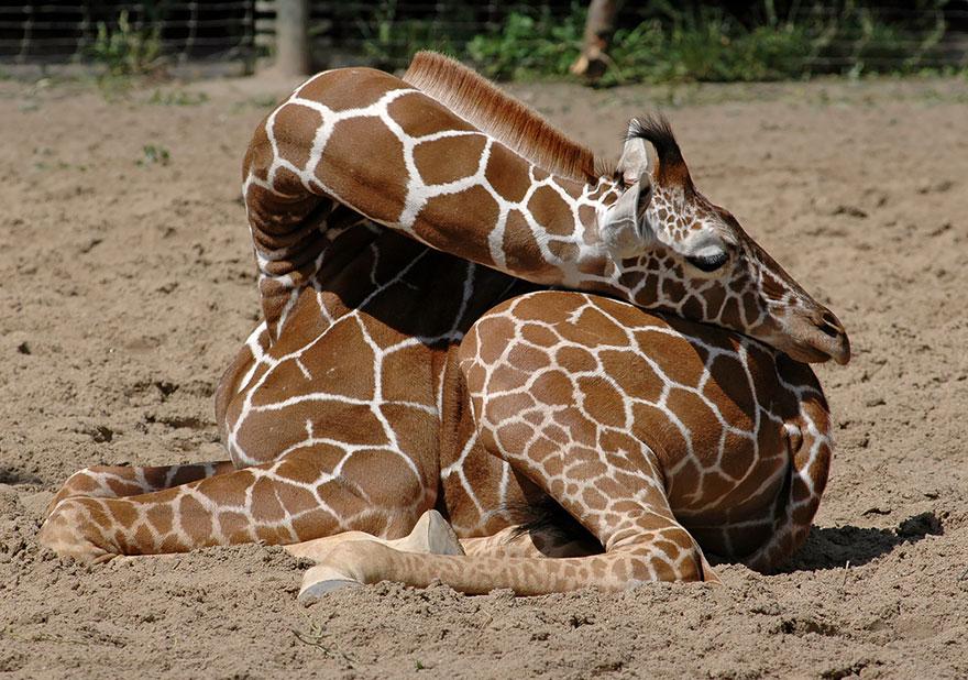 Giraffes8