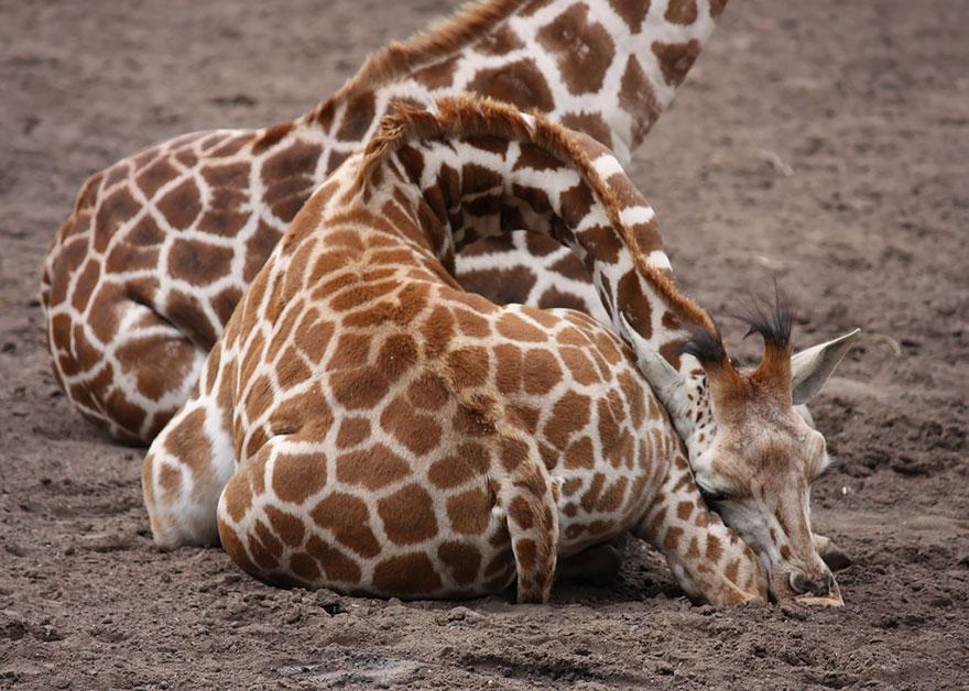 Giraffes9