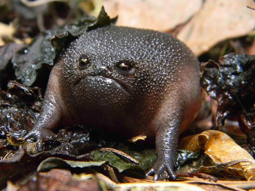 Дождевая лягушка