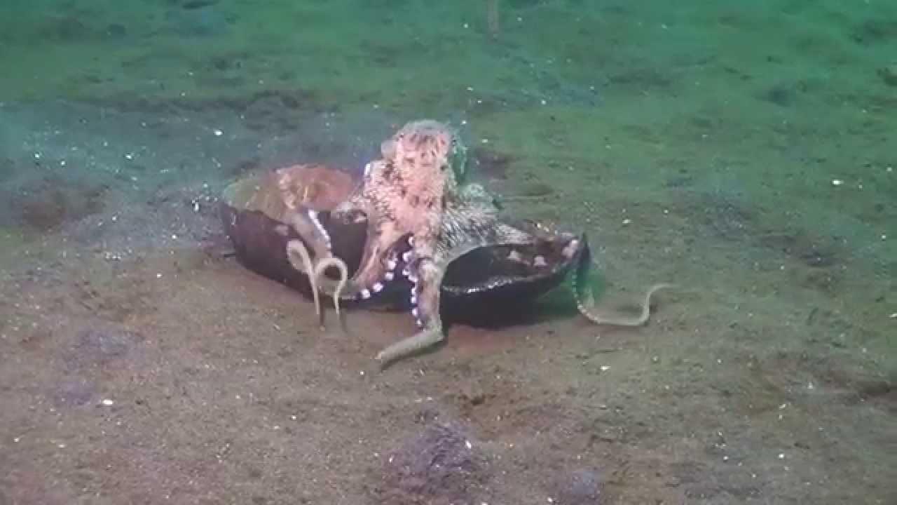 Осьминоги тоже умеют ходить