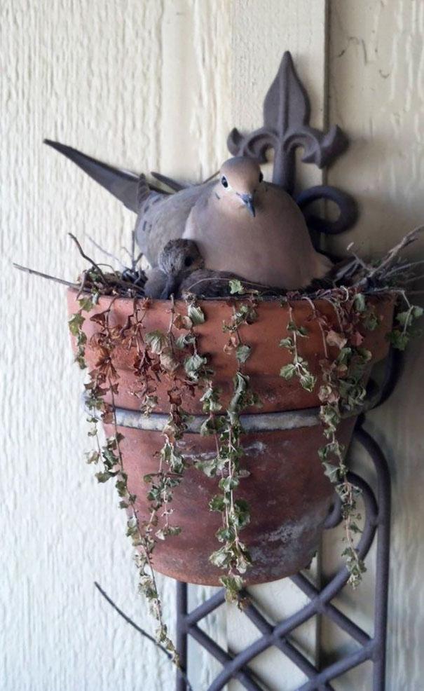 Голубиное гнездо в цветочном горшке