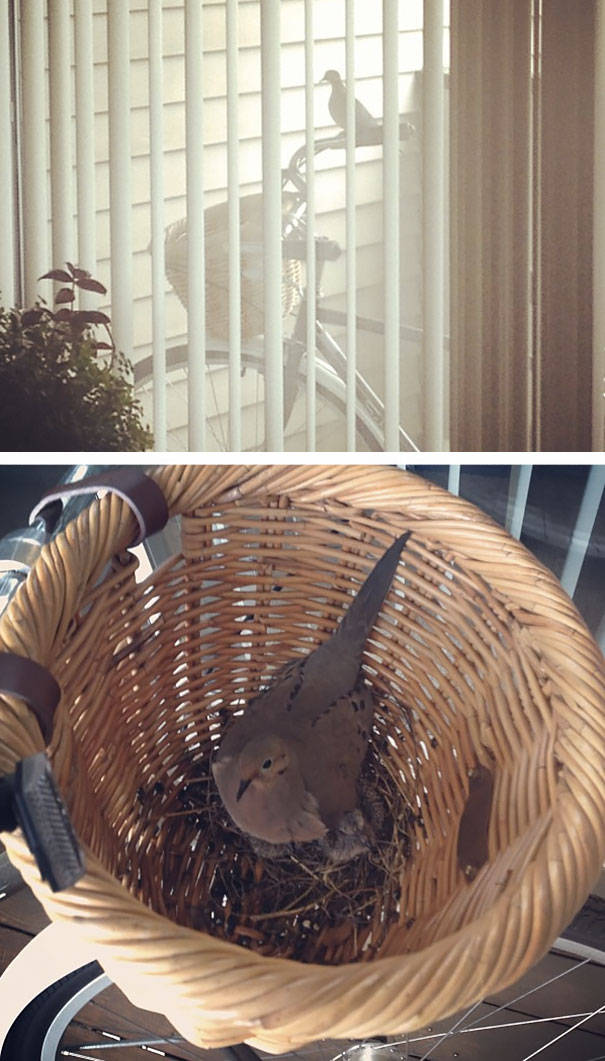 Гнездо в велосипедной корзине