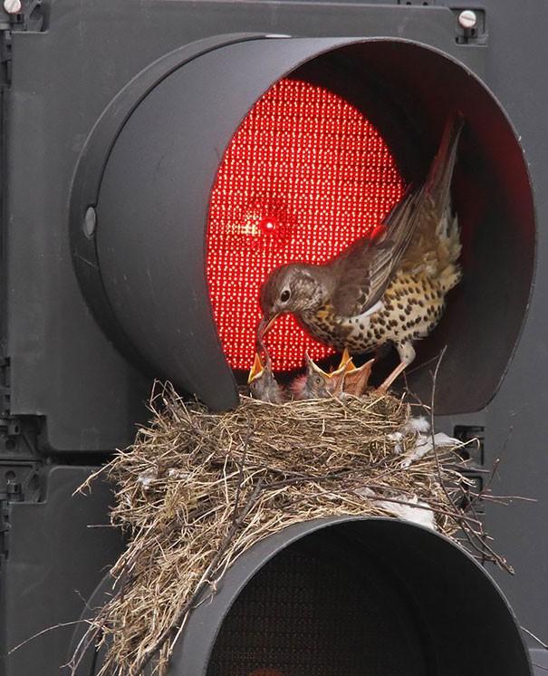 Гнездо на светофоре
