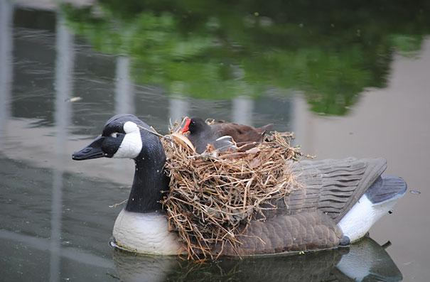 Гнездо на плавающем муляже утки