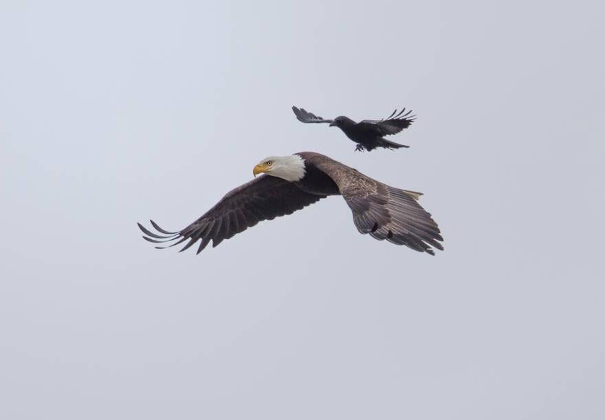 crow_and_eagle