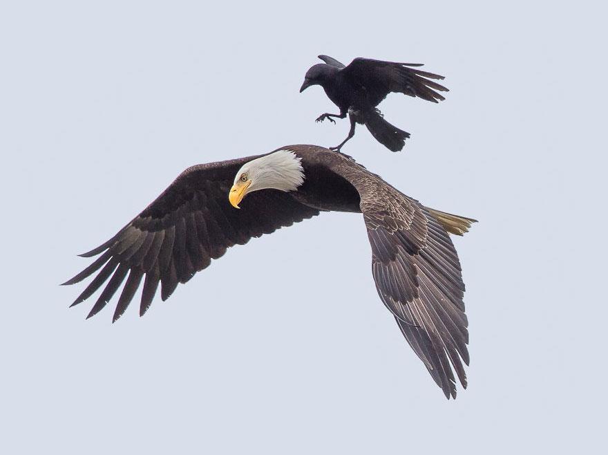 crow_and_eagle2