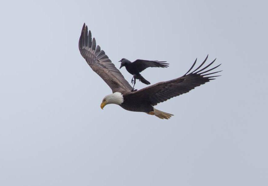 crow_and_eagle3