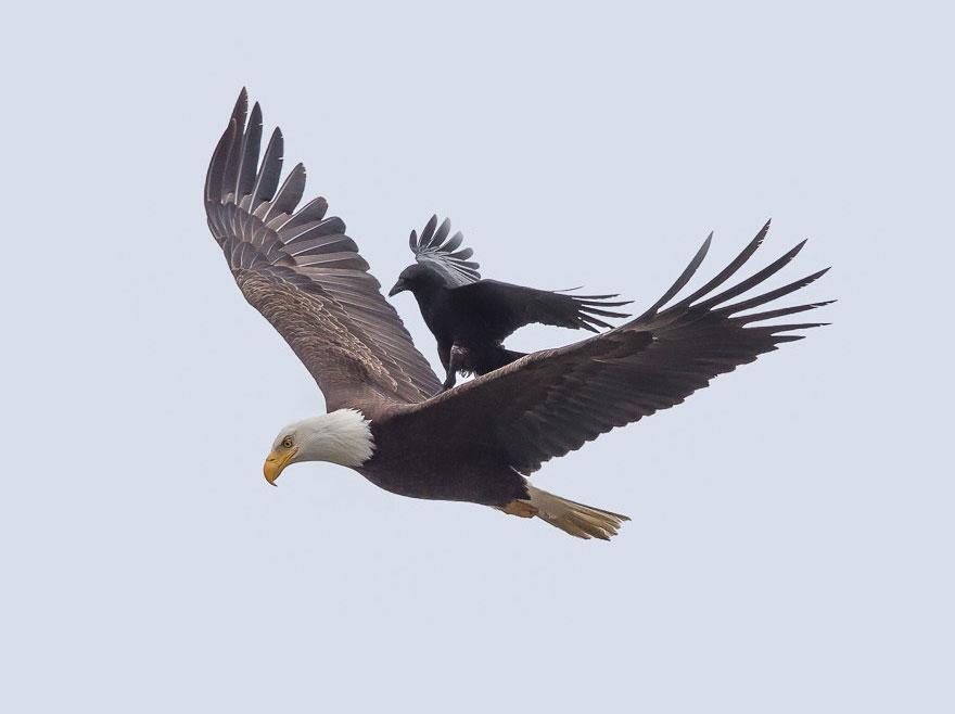 crow_and_eagle4