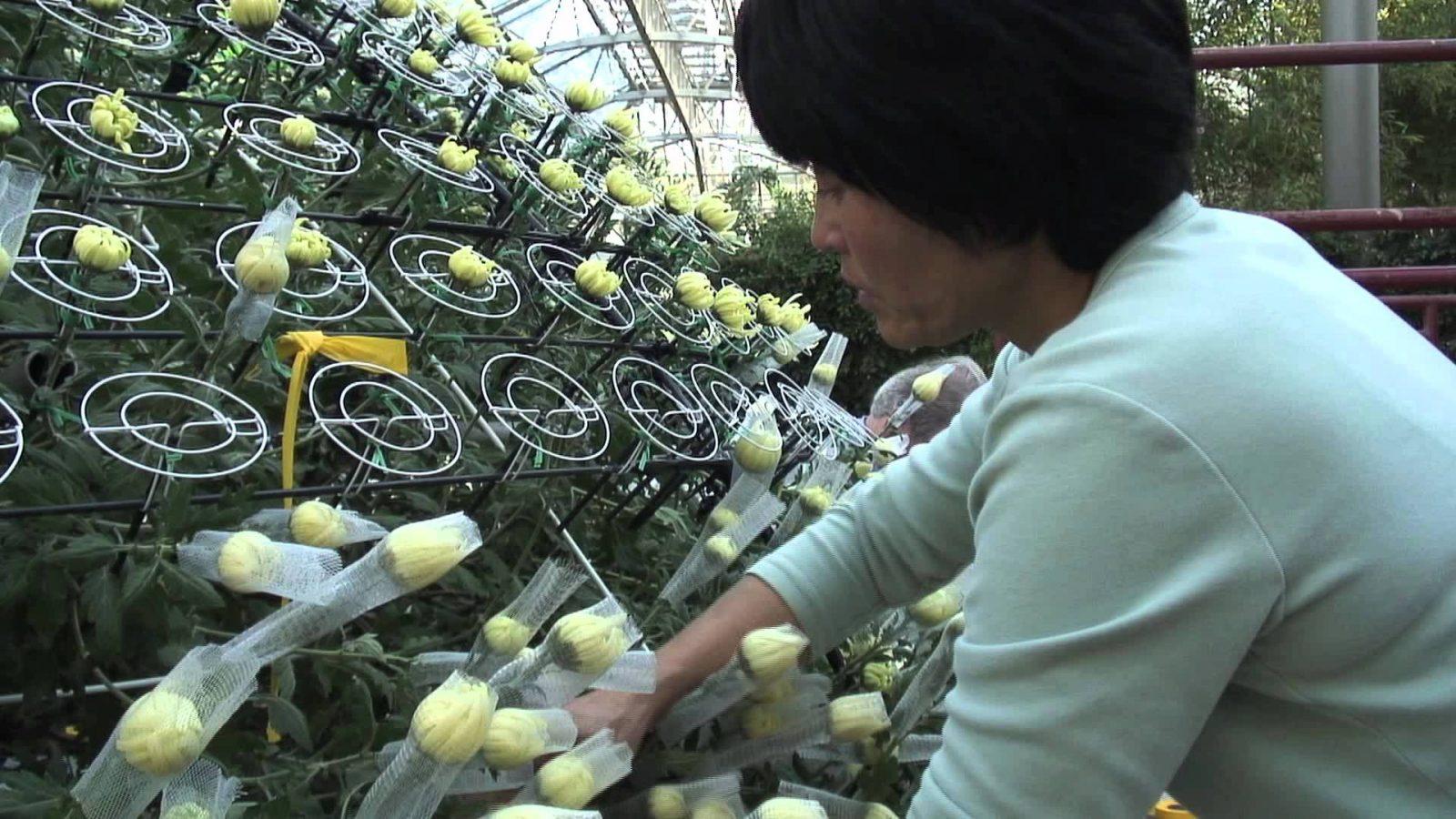 Как на одном растении хризантемы вырастить более 1000 цветов?