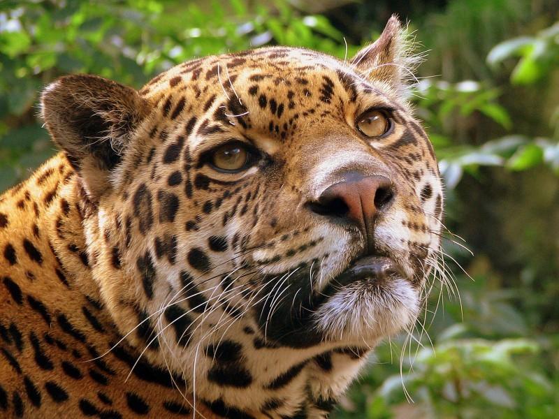 Картирование ареала леопарда