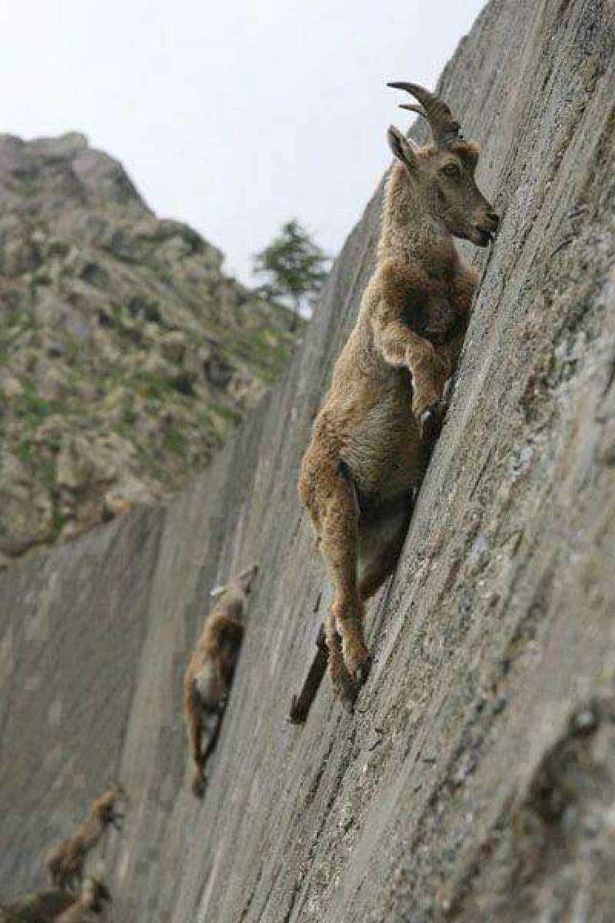 Альпийские горные козлы