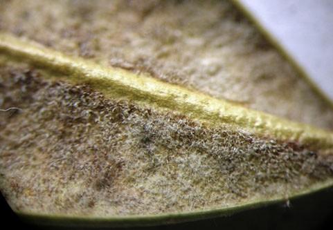 «Мохнатый» слой конидиеносцев Cylindrocladium buxicolaна бурых участках старых опавших листьев