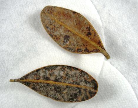 Смешанная инфекция на опавших листьях с участием Cylindrocladium buxicola.