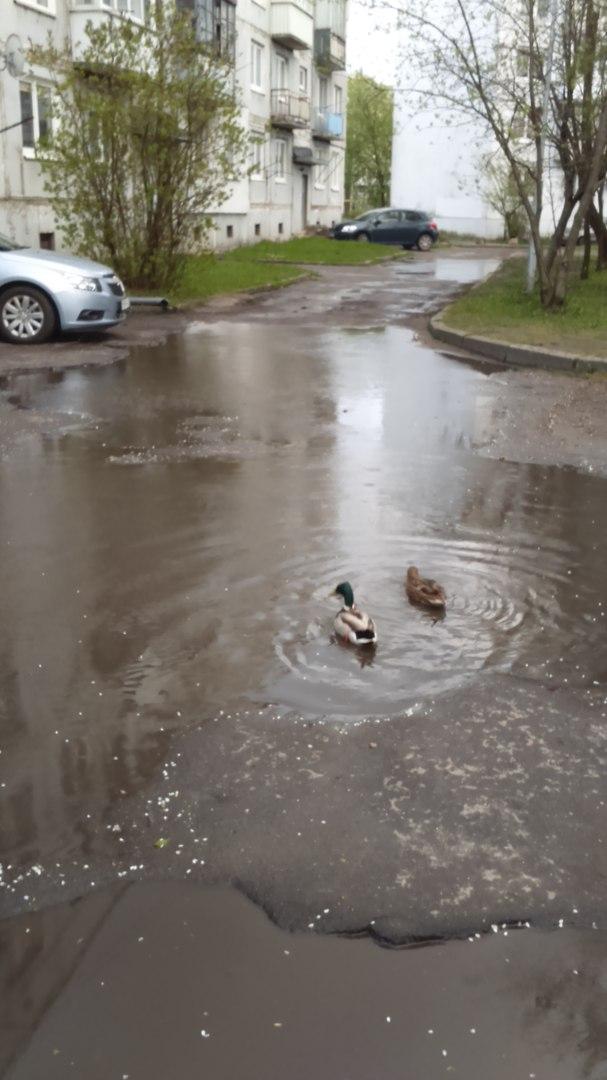 Утки на дороге