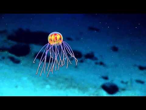 В Марианской впадине обнаружен неизвестный науке вид медуз