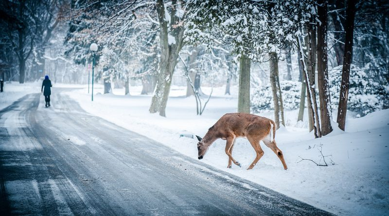 Лось на лесной дороге