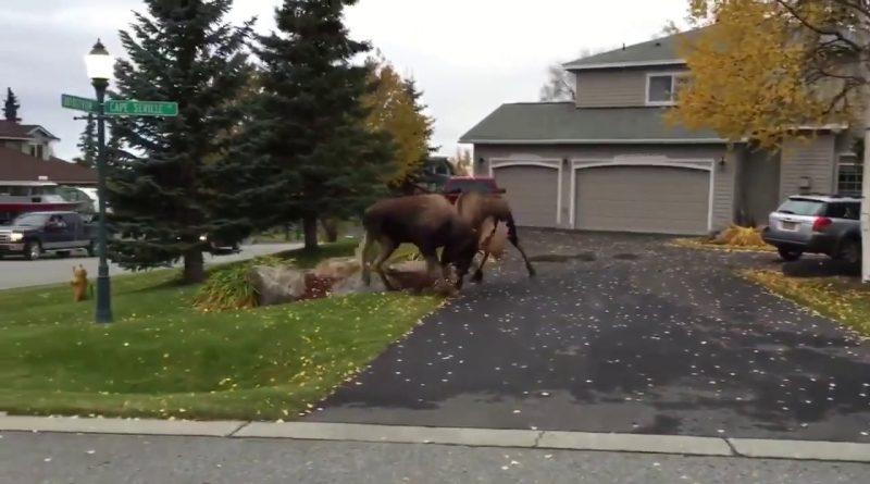 Схватка лосей на улице Анкориджа (Аляска)