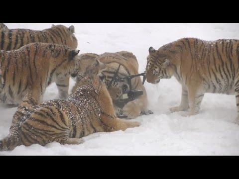 Сибирские тигры в погоне за дроном