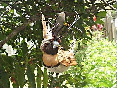 Австралийские пауки за трапезой
