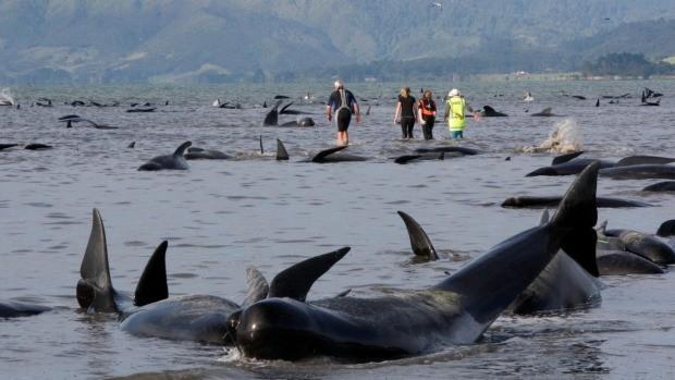 Более 400 дельфинов выбросилось на берег в Новой Зеландии